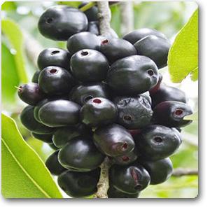 Jamun// Pring Plant 4-6 inchesl Live Organic Java Plum Jambolan seedling