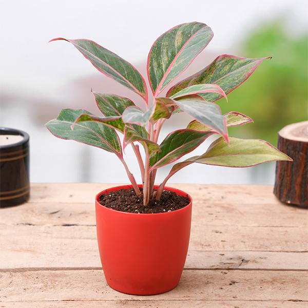 Buy aglaonema siam aurora, aglaonema lipstick - plant online at nurserylive  | Best plants at lowest price