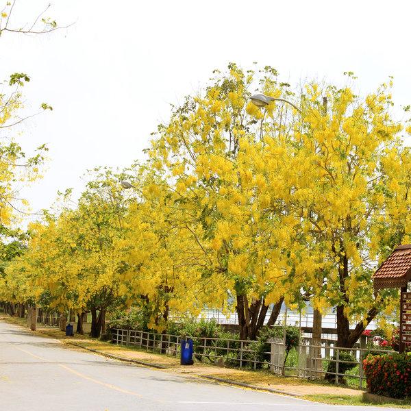 Buy cassia fistula, golden shower tree, bahava - plant online at  nurserylive | Best plants at lowest price