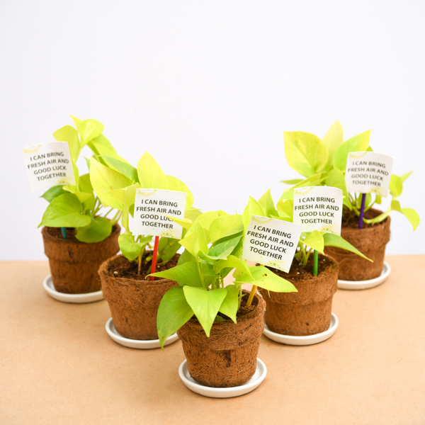 Buy golden money plant in eco-friendly pot - gift pack online at  nurserylive   Best plants at lowest price