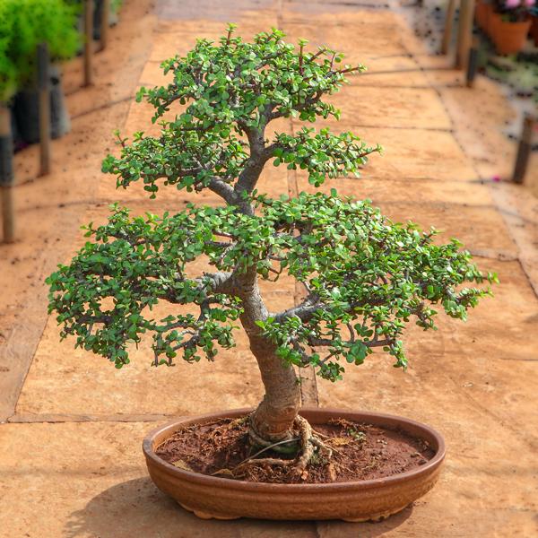 Jade Plants Jade Bonsai Formal Upright Style Plant