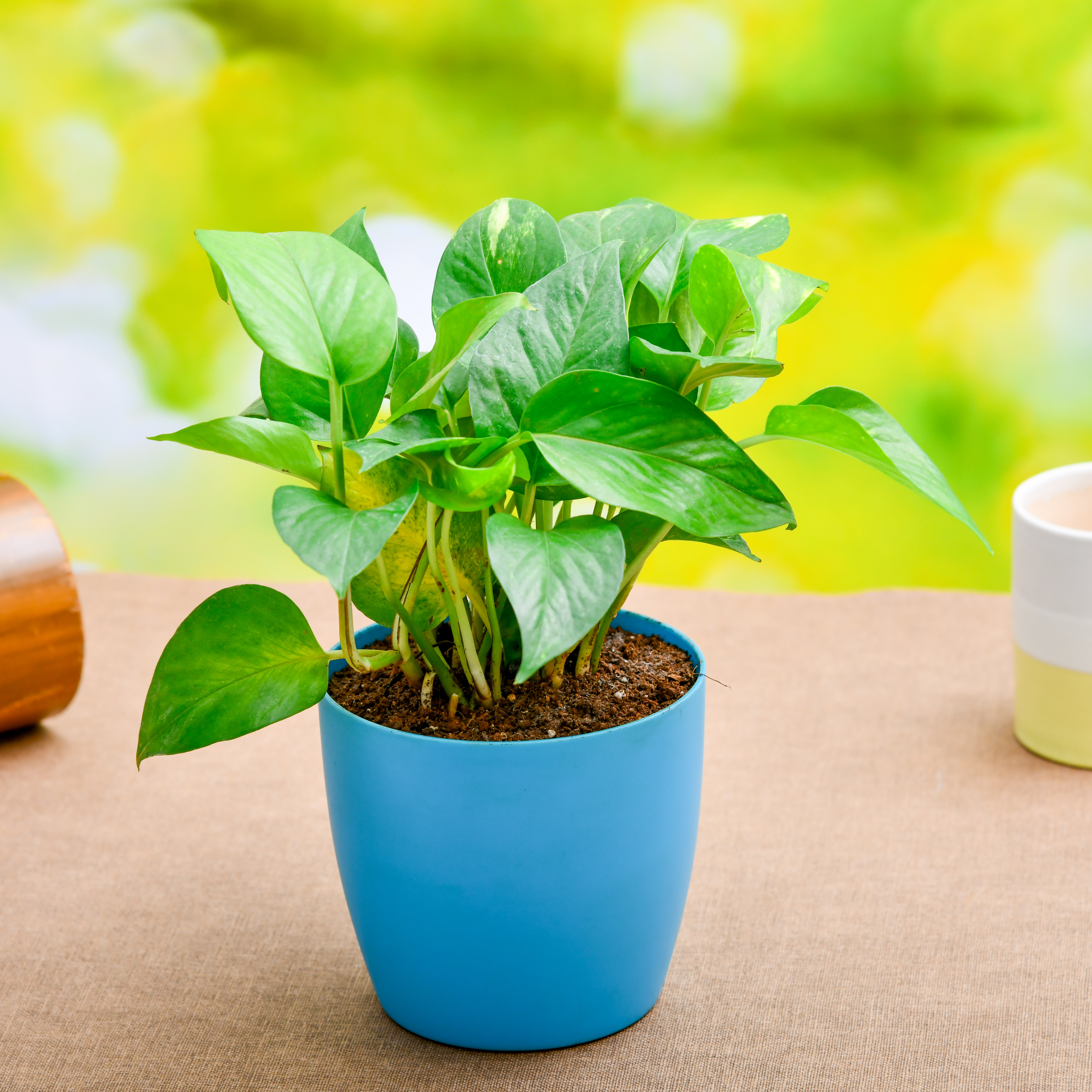 Buy Money Plant Scindapsus Green Plant Online At Nurserylive Best Plants At Lowest Price