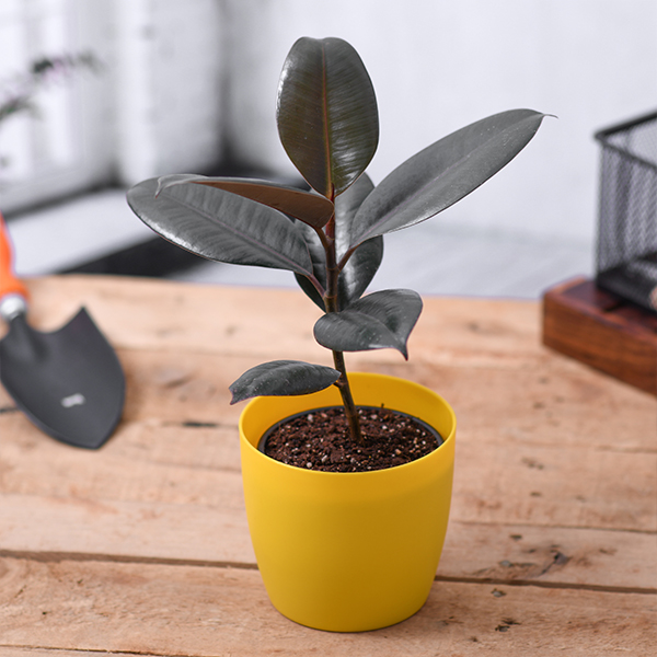 Buy ficus elastica, rubber plant (small) - plant online at nurserylive    Best plants at lowest price